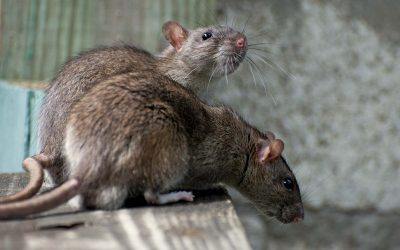 Rodents most active in winter