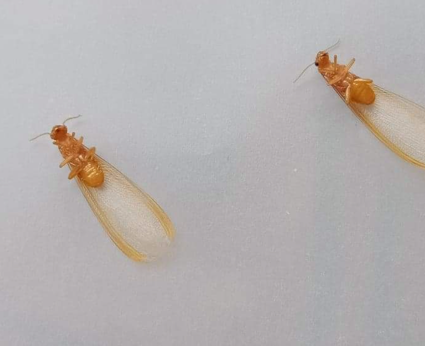 Termite Alates fly from the Nest